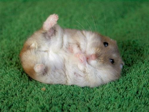 hamster-hamsters-2475025-500-375